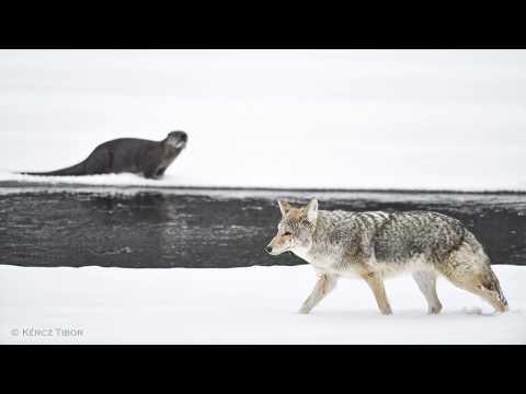 farkasok szemész