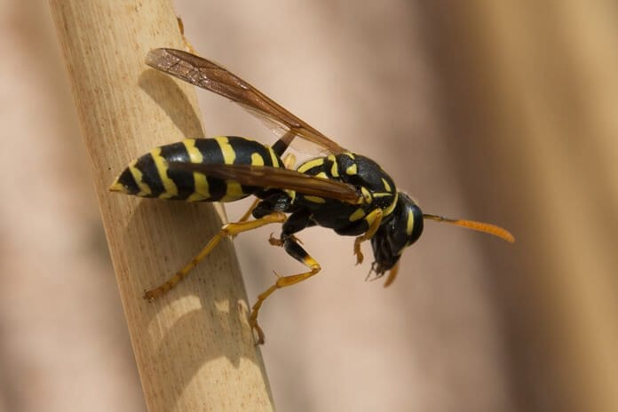 A háziméh érzékelése