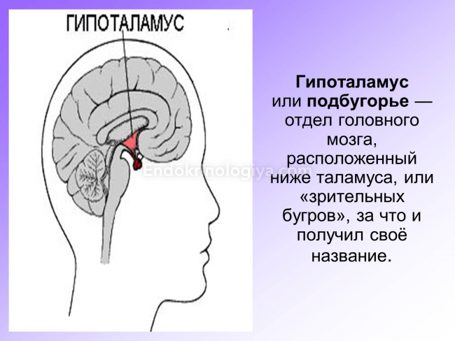 Hipotalamusz – Wikipédia