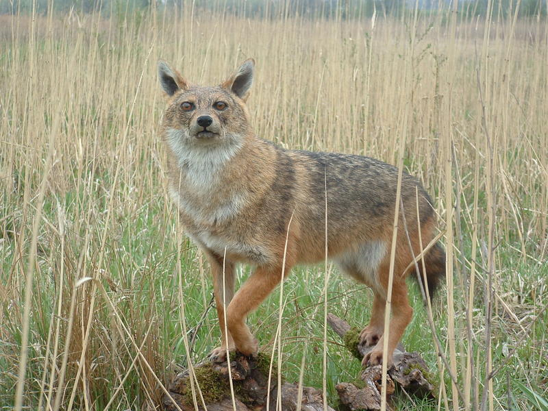 Dudujka-völgyi Rókák