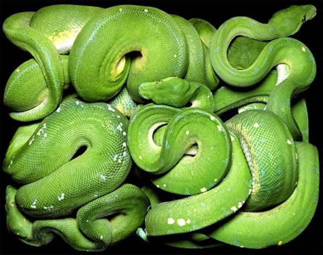 látvány, mint a kígyók kurkuma a látáshoz