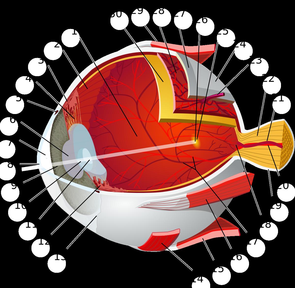 A szem anatómiája