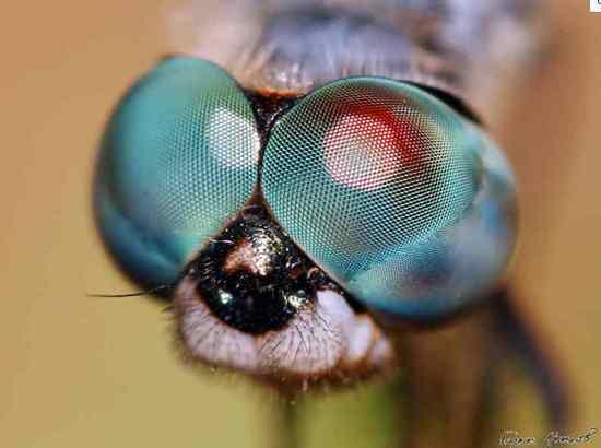 látás szitakötő szeme