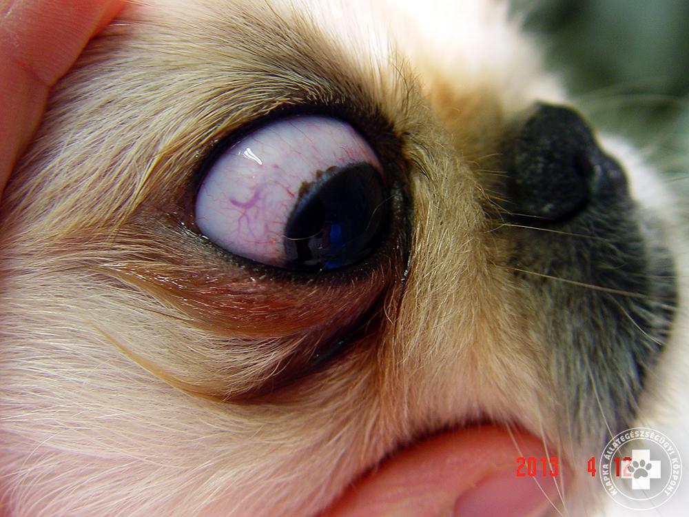 Toklász kontra szem - esetismertetés - Állatorvosi lézerszemészeti rendelő