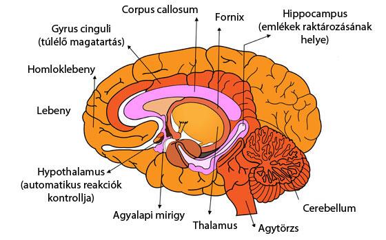 az agy a látásért felelős rész