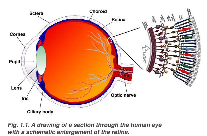 Choroid: funkciók és betegségek - Anatómia September