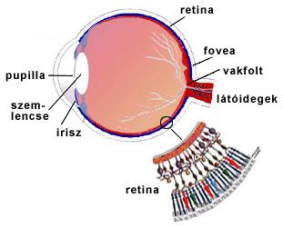 az emberi látás vakfoltjai a látás helyreállítása valós vagy sem