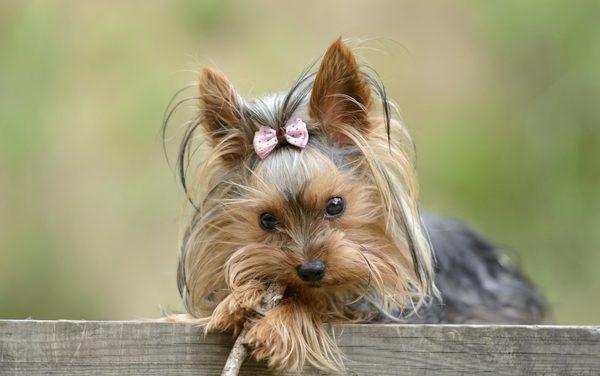 yorkshire terrier látvány látás mínusz 3 hogyan lehetne javítani