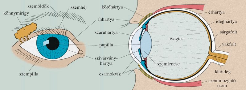 a látás fokozásának eszközei szűkül a látás az egyik szemben