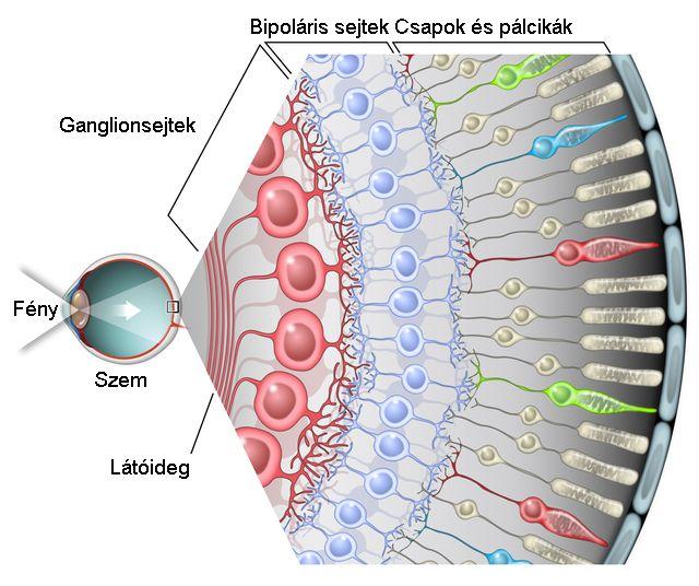 a szem ankilostomiasis