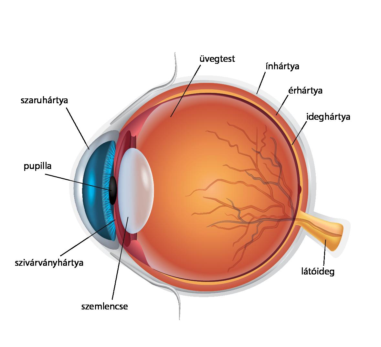 emberi test látása