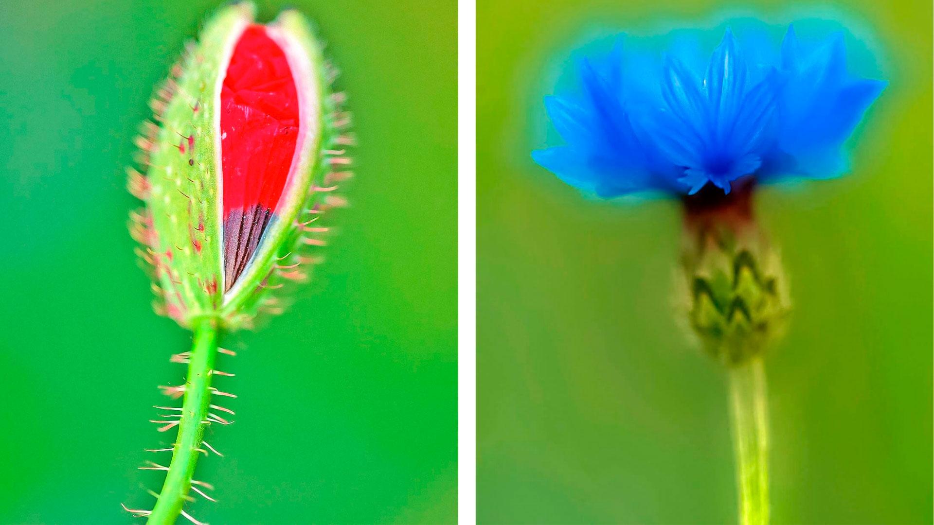 Búzavirág a szem elől