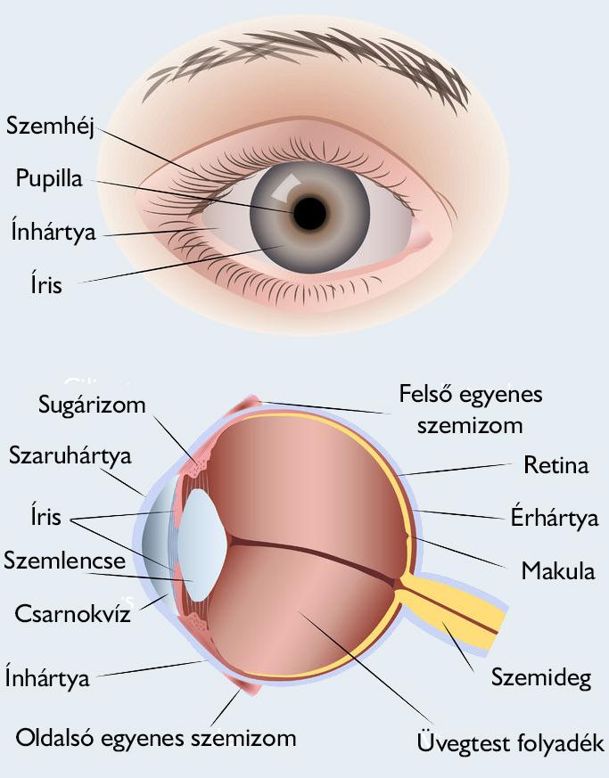 szem szem szerkezete myopia hyperopia