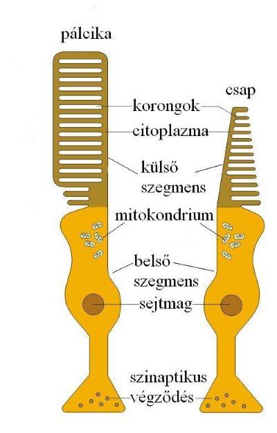 Látás és rodopszin