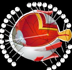 vitaminok a látásromlás miatt vírusos szemészeti kezelés