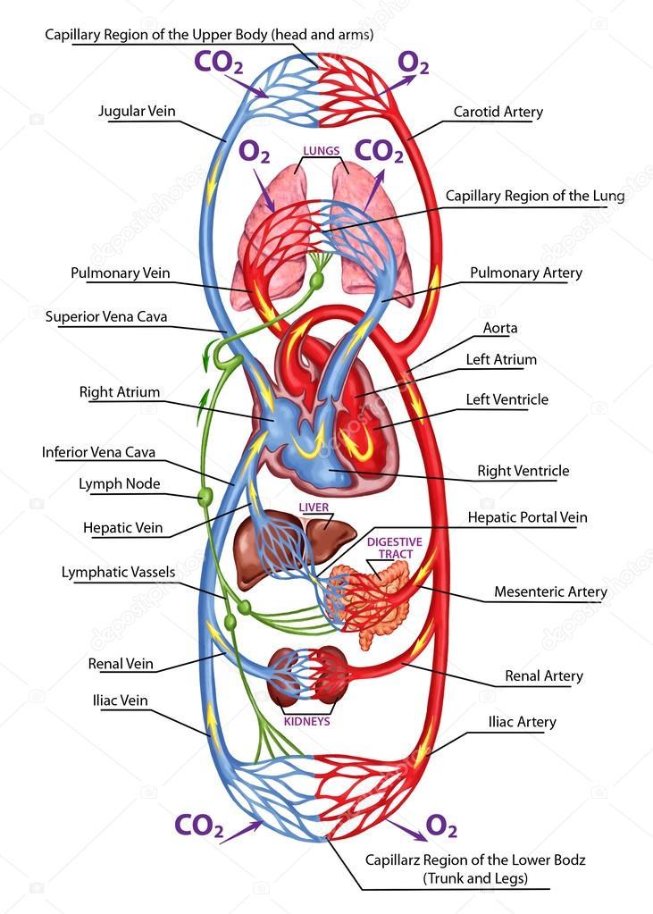 Szív- és érrendszer, vérnyomás