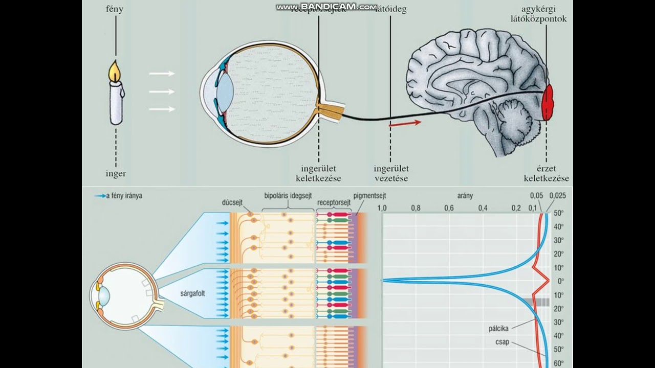 A látás helyreállítása a Bates módszere szerint - Gimnasztika hyperopia és astigmatizmus esetén