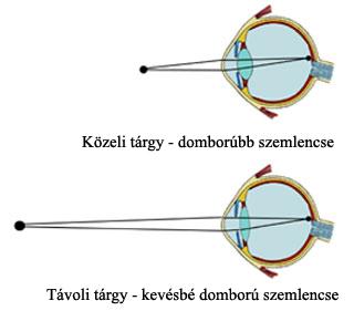 A látás szervei Gömb alakú emberi látás